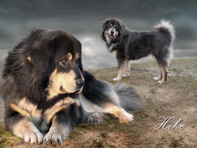 hike_01_tibetan_mastiff_nam_kha