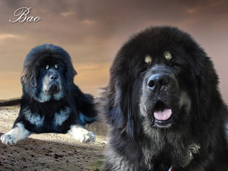 0000_01_bao_nam_kha_tibetan_mastiff