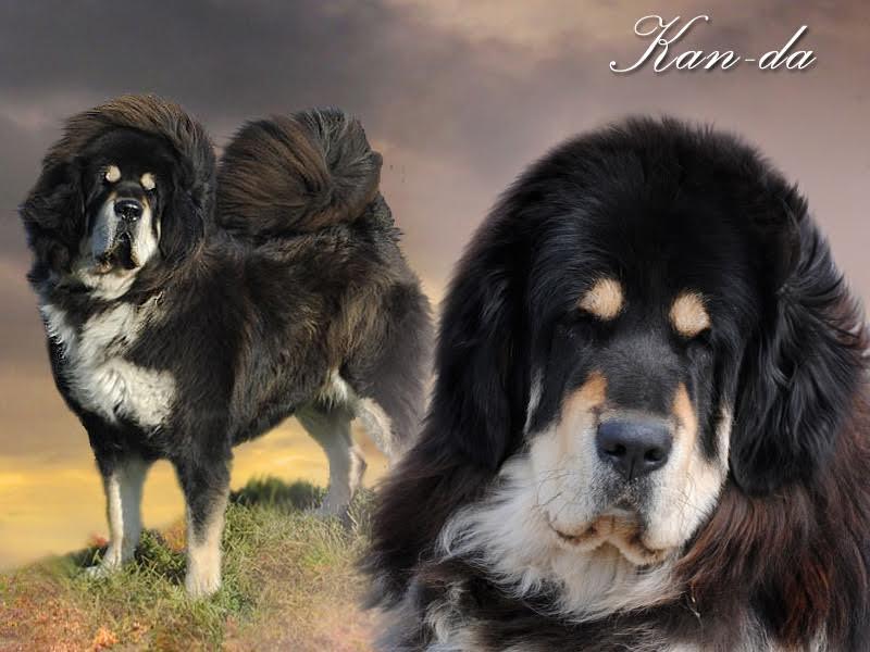 0000_01_kanda_nam_kha_tibetan_mastiff