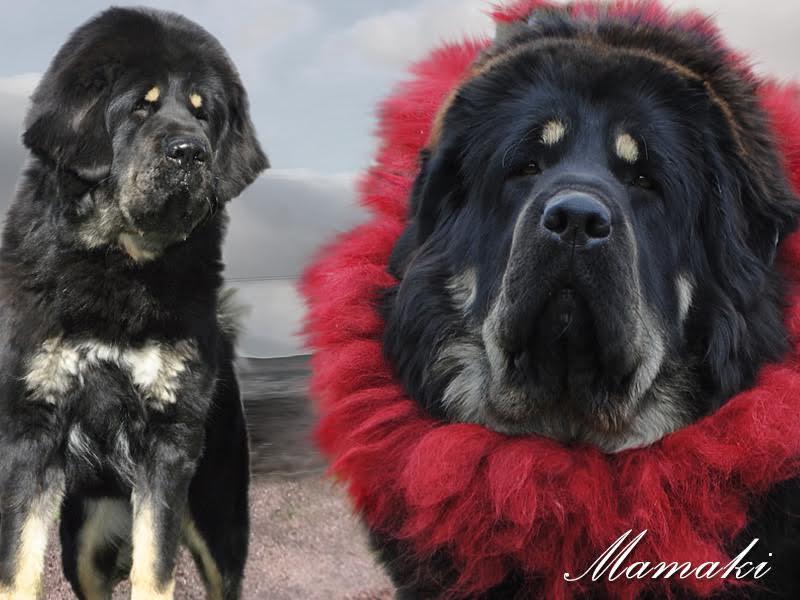 0000_01_nam_kha_kennel_tibetan_mastiff_mamaki