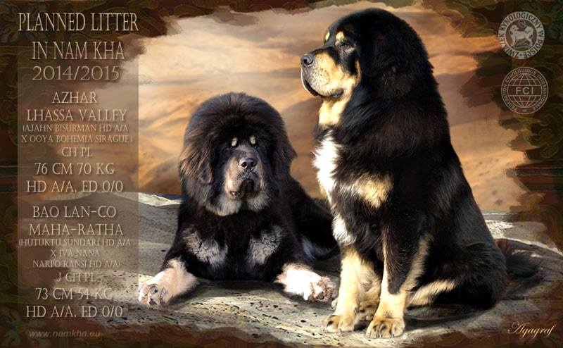 00_litter_i_nam_kha_kennel_tibetan_mastiff