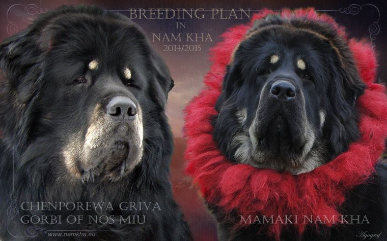 00_litter_j_tibetan_mastiff_nam_kha_kennel