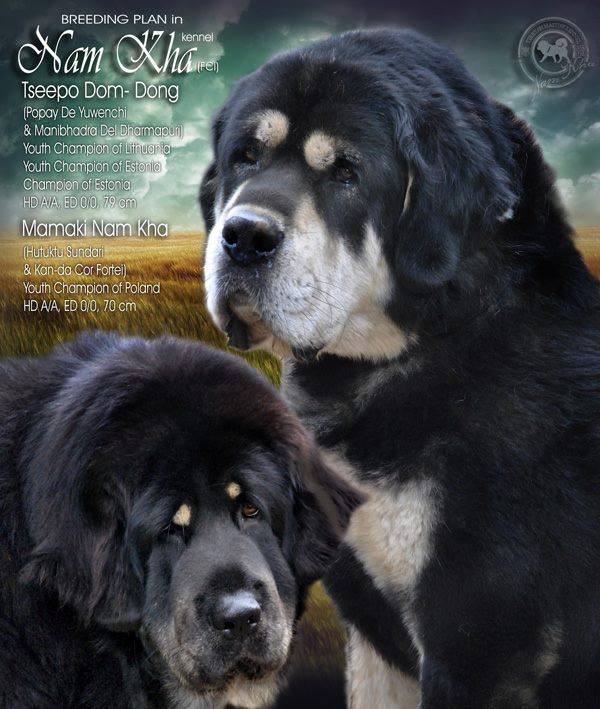 2016_00_nam_kha_kennel_tibetan_mastiff_litter_h