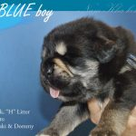 blue_04_nam_kha_kennel_tibetan_mastiff_litter_h