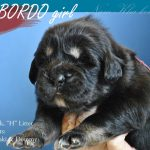 bordo_04_nam_kha_kennel_tibetan_mastiff_litter_h