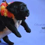 darkblue_04_litter_j_tibetan_mastiff_nam_kha_kennel