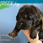 green_04_nam_kha_kennel_tibetan_mastiff_litter_h
