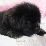 green_11_litter_m_nam_kha_kennel_tibetan_mastiff