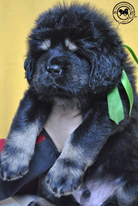 green_14_litter_j_tibetan_mastiff_nam_kha_kennel_green