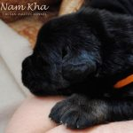 orange_03_litter_m_nam_kha_kennel_tibetan_mastiff
