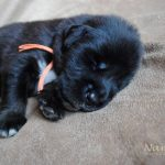 orange_07_litter_l_nam_kha_kennel_tibetan_mastiff