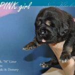 pink_03_nam_kha_kennel_tibetan_mastiff_litter_h