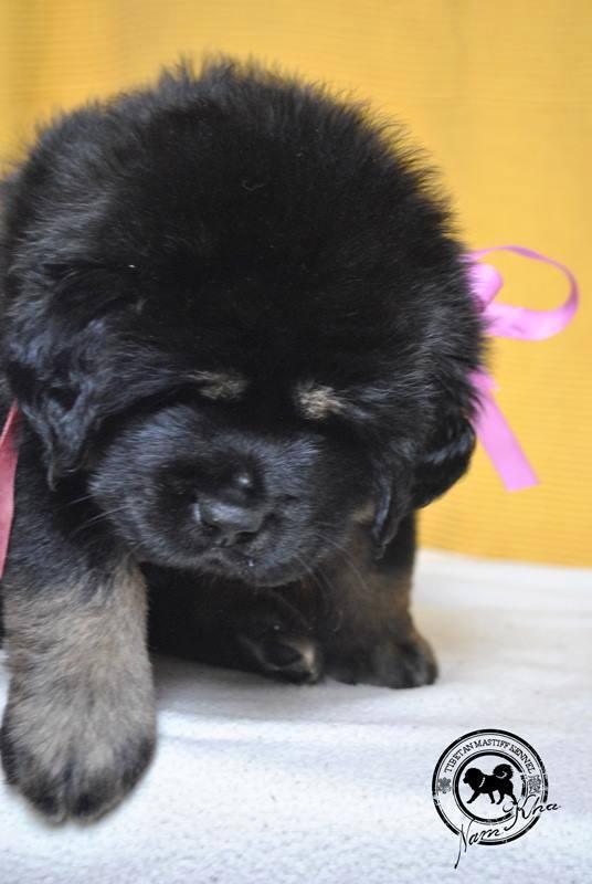 pink_12_litter_j_tibetan_mastiff_nam_kha_kennel_padma