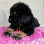 red_09_litter_m_nam_kha_kennel_tibetan_mastiff