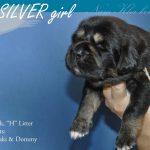 silver_04_nam_kha_kennel_tibetan_mastiff_litter_h