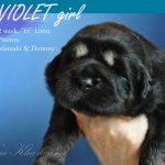 violet_04_nam_kha_kennel_tibetan_mastiff_litter_h
