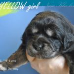 yellow_03_nam_kha_kennel_tibetan_mastiff_litter_h